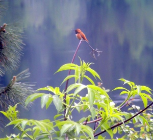hummingbird, river background
