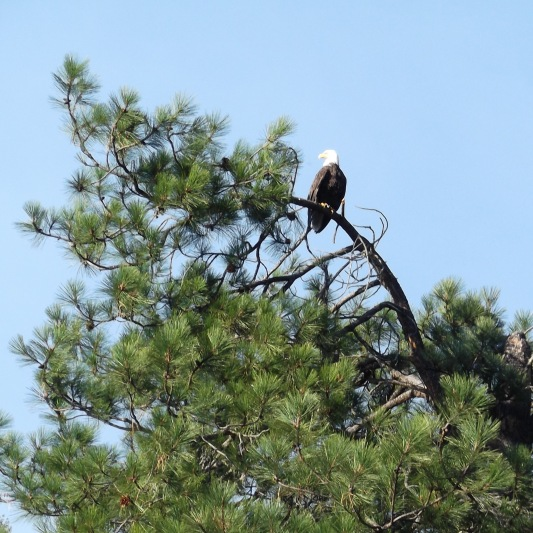 eagle from kayak 2